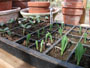 vegetable seedlings for home kitchen garden